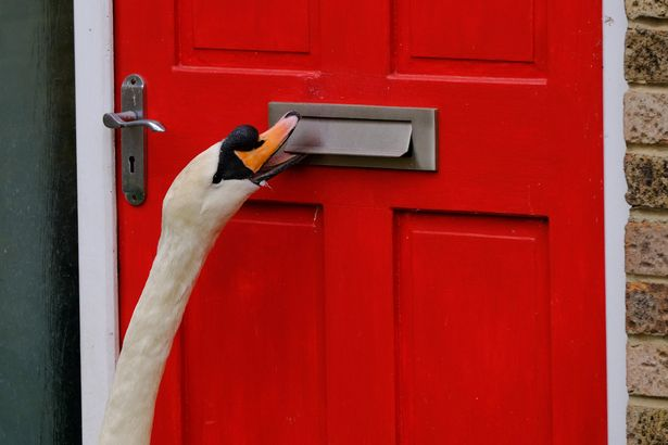 'Asbo swan' causes havoc by knocking on doors and harassing humans for hours